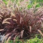 Overwintering Purple Fountain Grass