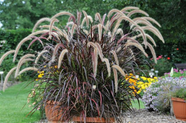 Overwintering Purple Fountain Grass Helpherself Com